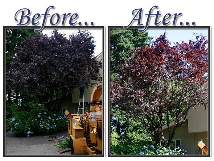 Thundercloud plum. before, and after